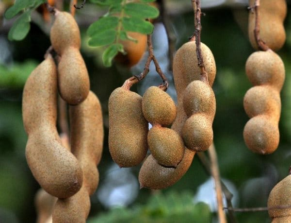 фрукт Тамаринд