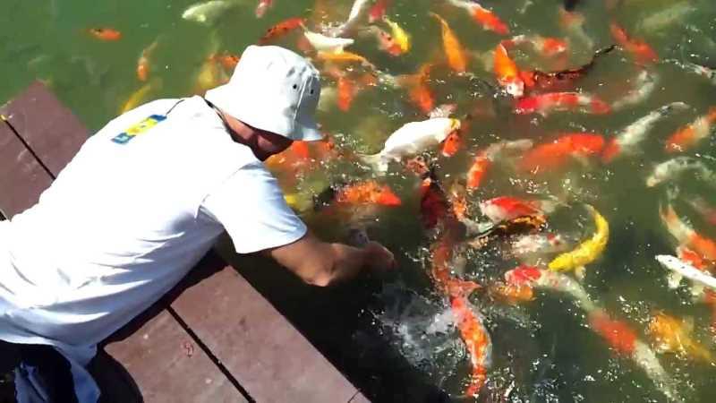Кормление золотых рыбок в ботаническом саду