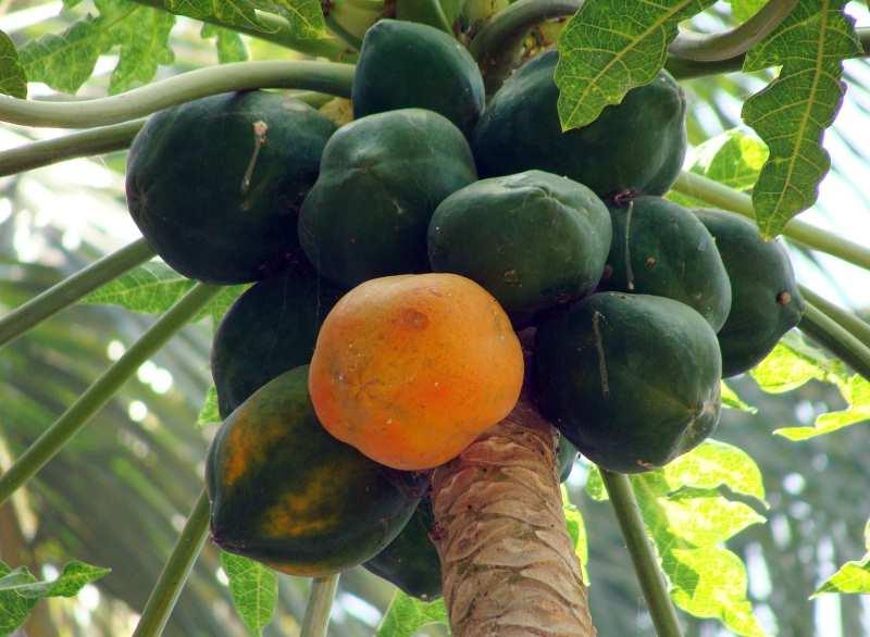 Папайя растет на пальме